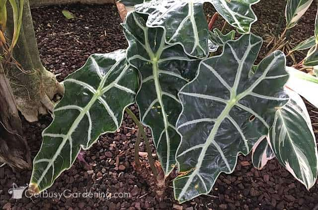 Alocasia tropical plants for indoors