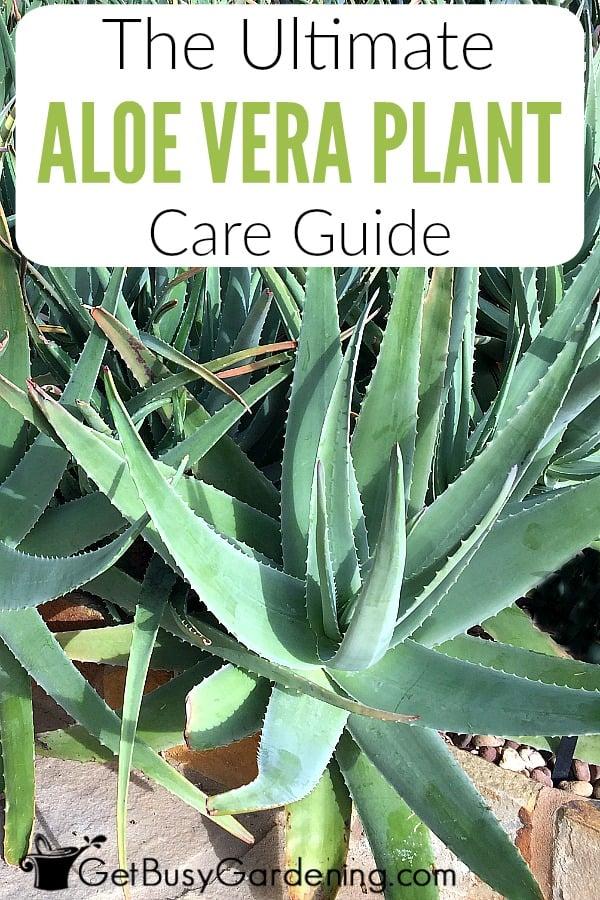 The Ultimate Aloe Vera Plant Care Guide