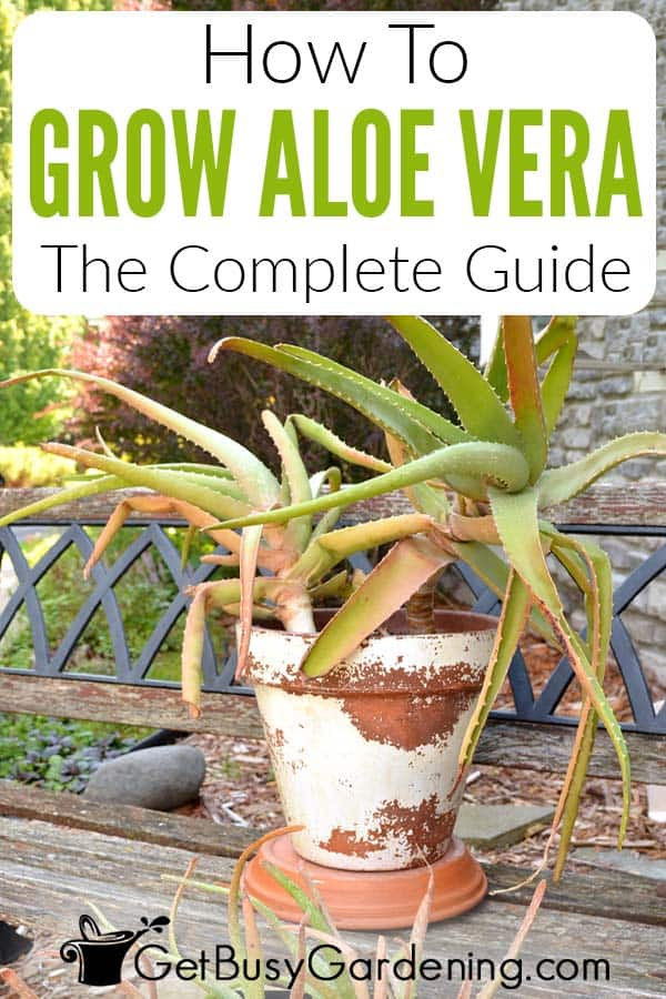 How To Grow Aloe Vera The Complete Guide