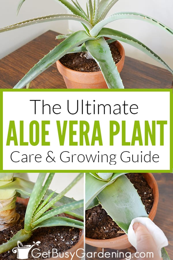 The Ultimate Aloe Vera Plant Care & Growing Guide