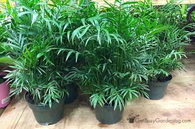 Dwarf parlor palm houseplants