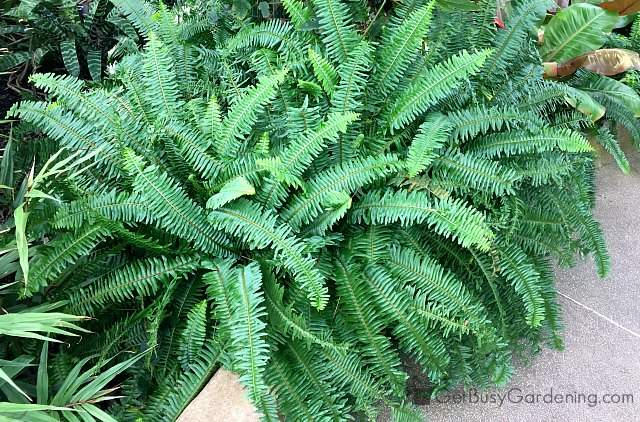 Ferns are great tropical indoor plants