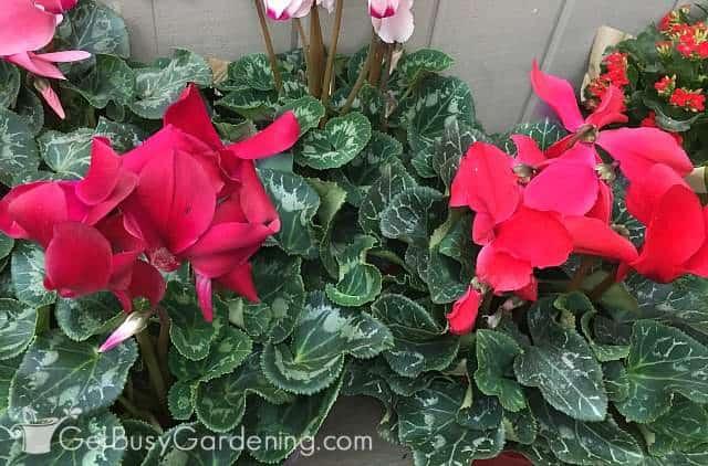 Gorgeous red cyclamen plant