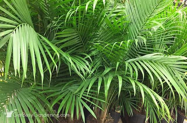 Indoor palm trees in containers