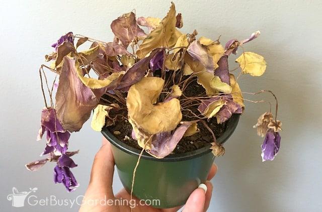 My cyclamen plant ready for dormancy