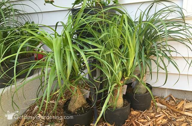 Ponytail palm plants outside for the summer