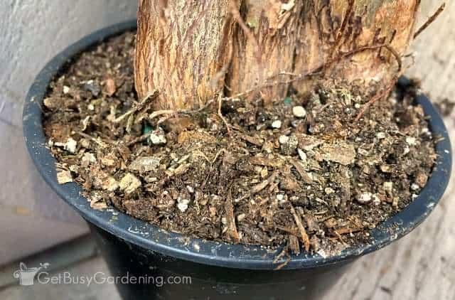 Potting soil for money tree plant