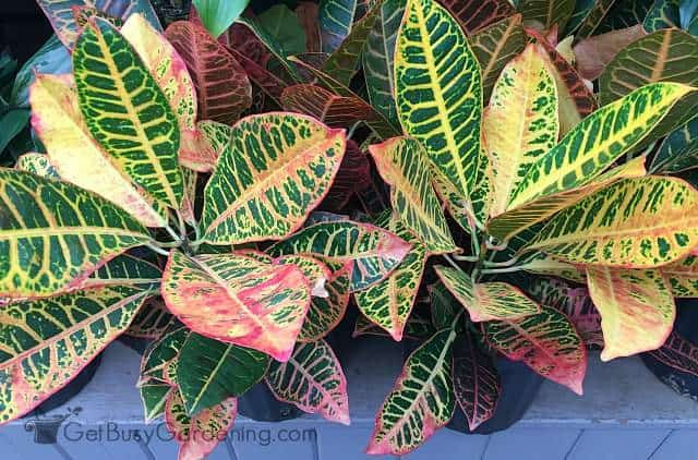 Tropical croton plant is similar to most common tropical houseplant care