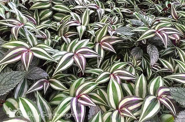 Wandering jew plant indoor houseplant (Tradescantia zebrina)