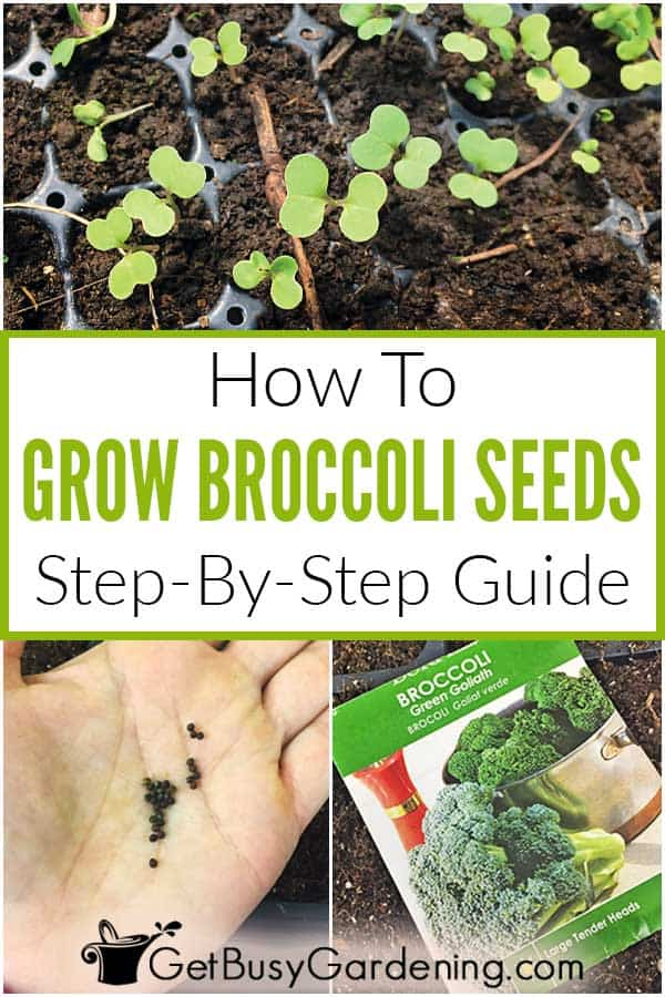 How To Grow Broccoli Seeds Step-By-Step Guide