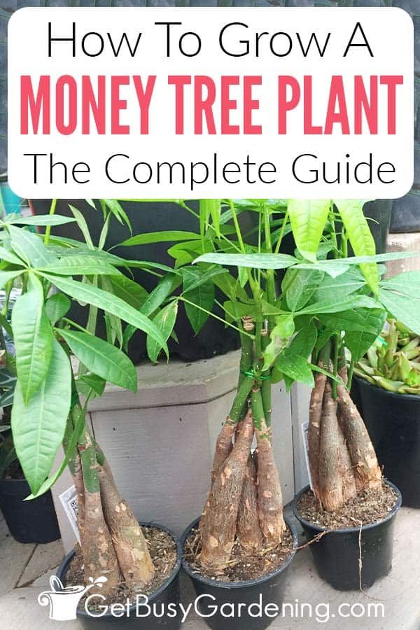 How To Grow A Money Tree Plant The Complete Guide