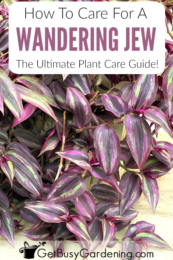 How To Care For A Wandering Jew: The Ultimate Plant Care Guide!
