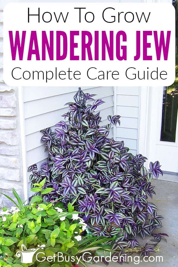How To Grow Wandering Jew Complete Care Guide