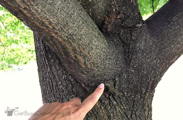 Locate the branch collar before cut off tree branch