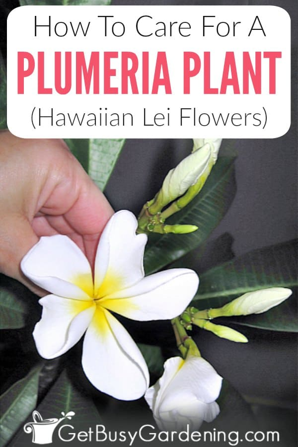 How To Care For A Plumeria Plant (Hawaiian Lei Flowers)