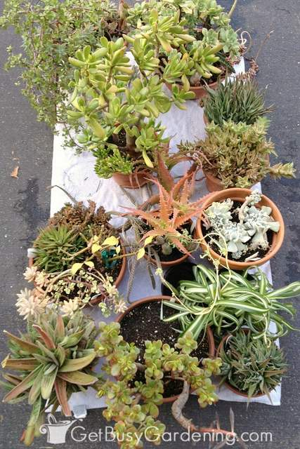 Bringing outdoor plants indoors