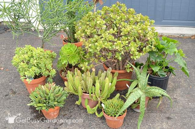 Bringing plants indoors for winter