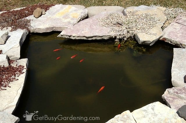 Fish swimming in clear pond water