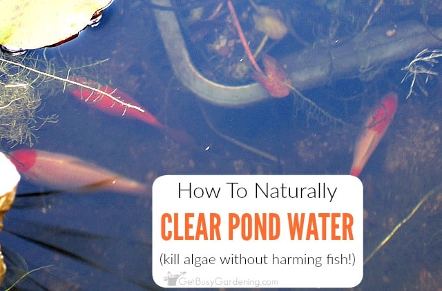 How To Naturally Clear Pond Water (kill algae without harming fish!)