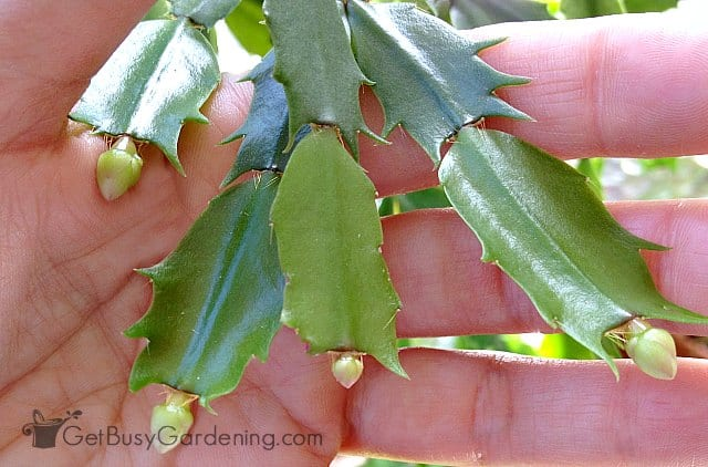 Flower buds on holiday cactus