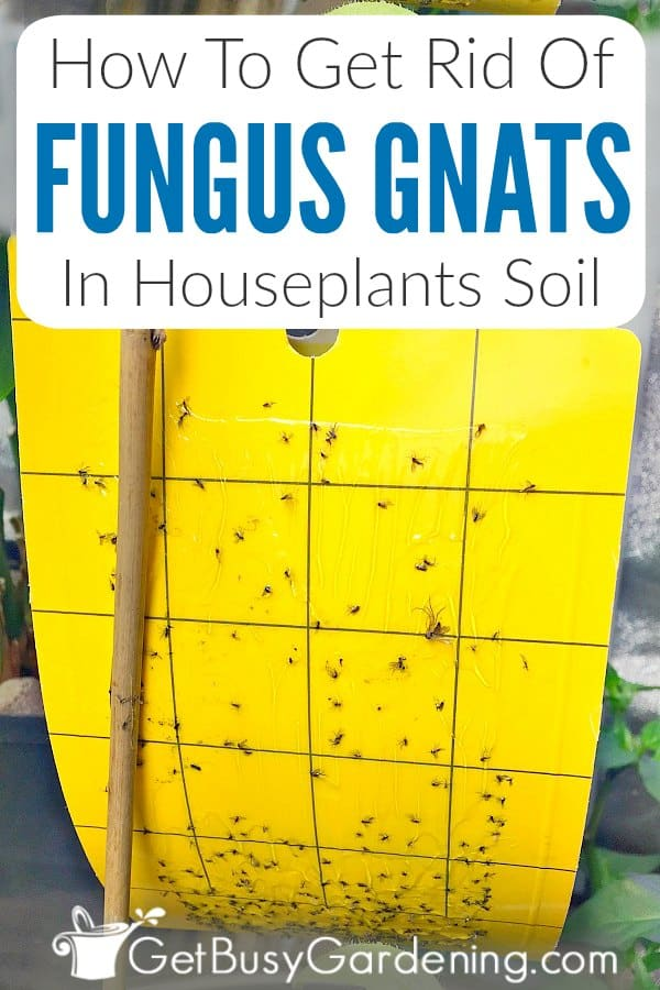 How To Get Rid Of Fungus Gnats In Houseplants Soil