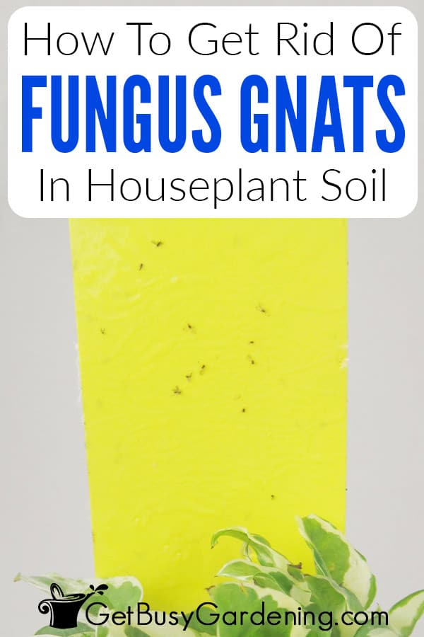 How To Get Rid Of Fungus Gnats In Houseplant Soil