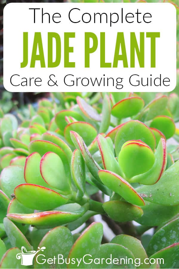 The Complete Jade Plant Care & Growing Guide