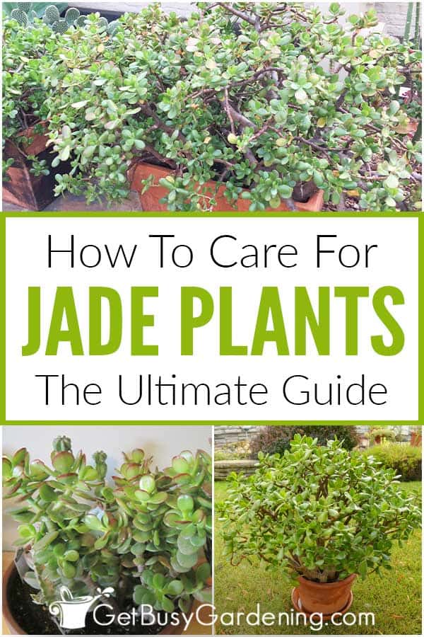 How To Care For Jade Plants: The Ultimate Guide
