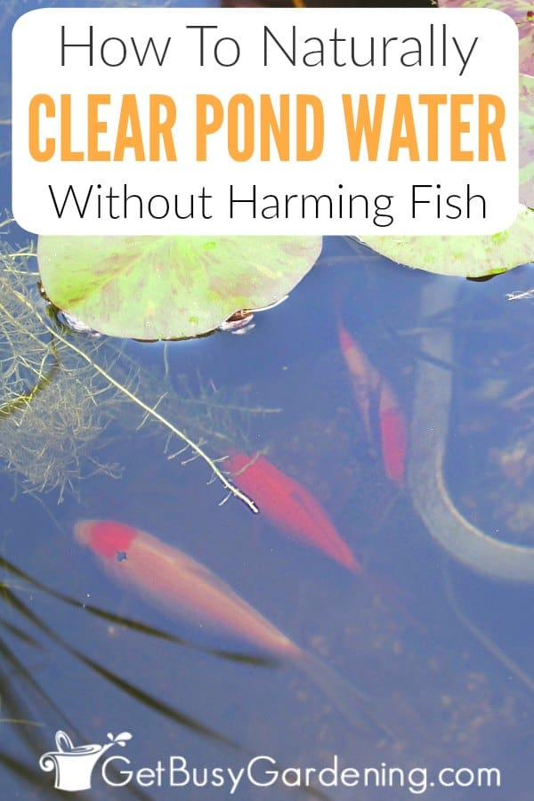 How To Naturally Clear Pond Water Without Harming Fish