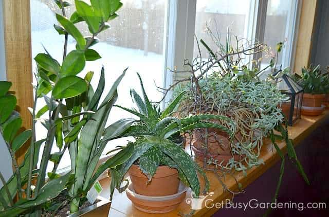 Growing succulents during winter on my window ledge