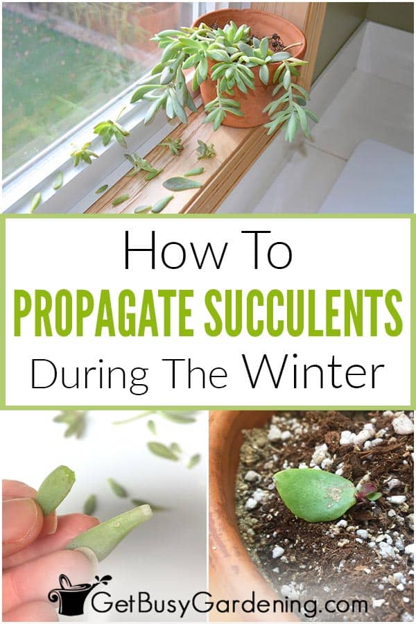 How To Propagate Succulents During The Winter
