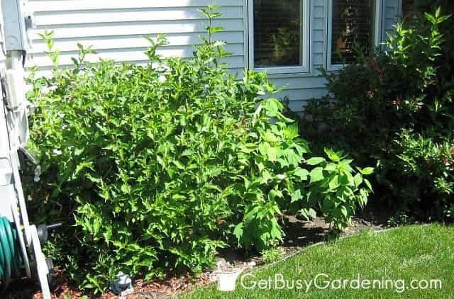 Overgrown bushes before installing my zen succulent garden