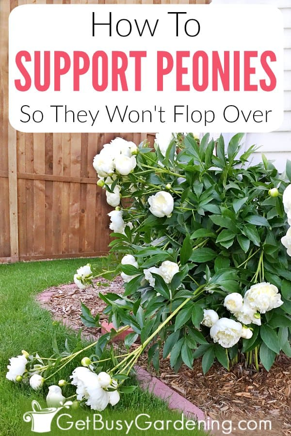 How To Support Peonies So They Won't Flop Over