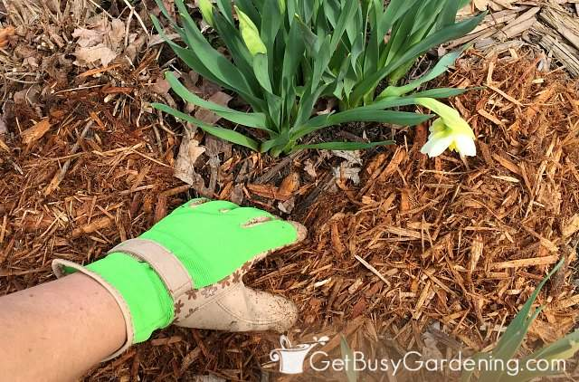 Pulling the mulch away from the base of plant stems