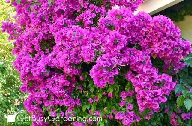 Bougainvilleas are gorgeous climbingflowers