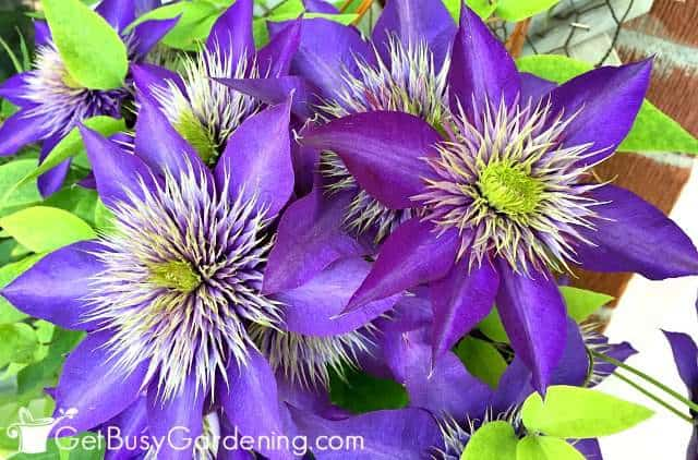 Clematis are hardy climbing plants with flowers