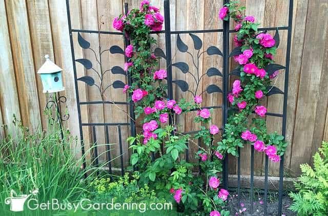 Climbing roses are perennial trellis plants