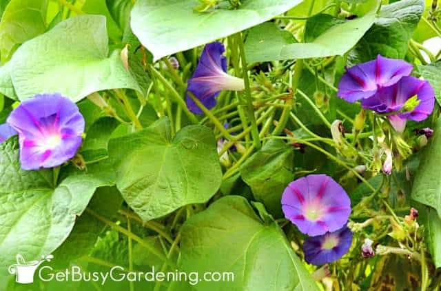 Morning glories are fast growing climbing plants