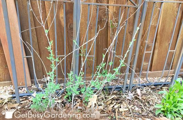 My Russian sage before pruning