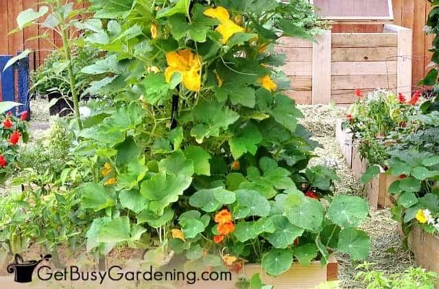 Nasturtium flowers are good squash companions