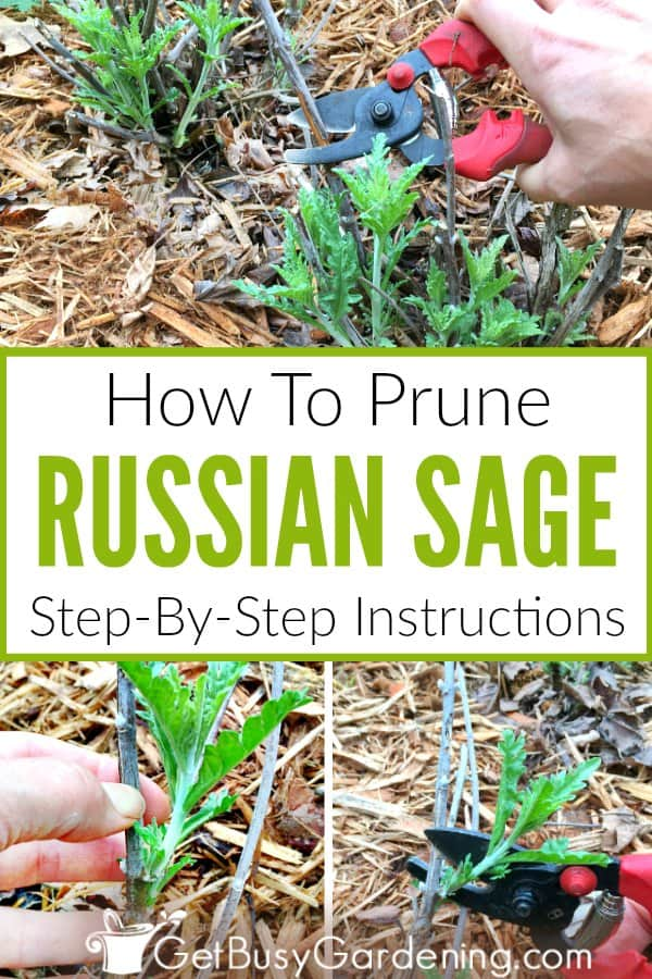 How To Prune Russian Sage Step-By-Step Instructions