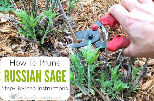 Pruning Russian Sage: Step-By-Step Instructions