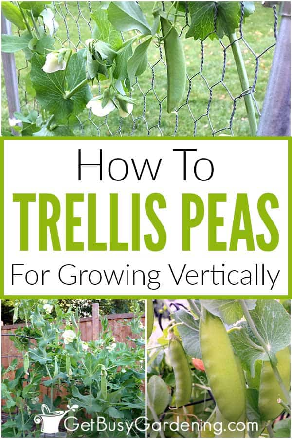 How To Trellis Peas For Growing Vertically