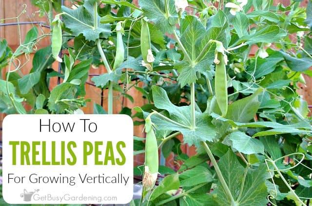 How To Trellis Peas In Your Garden