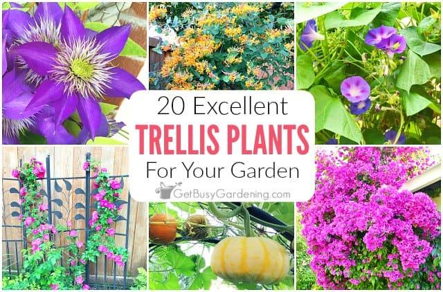 20 Excellent Trellis Plants For Your Garden