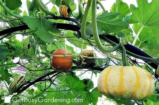 Trellis vegetables like squash are good climbing plants