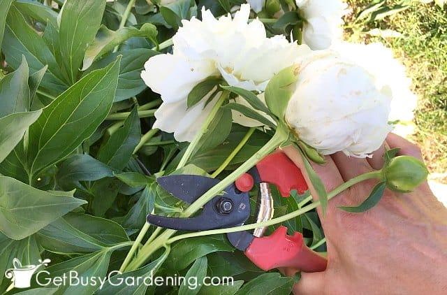 Deadheading peonies keeps them blooming longer