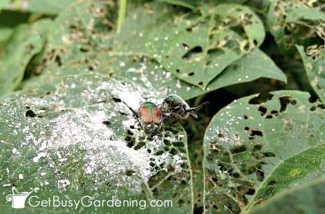 Diatomaceous earth is good for organic garden insect control