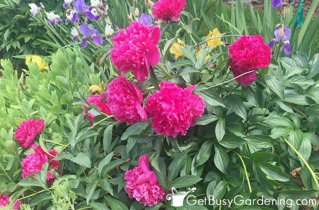 Gorgeous hot pink peony flowers