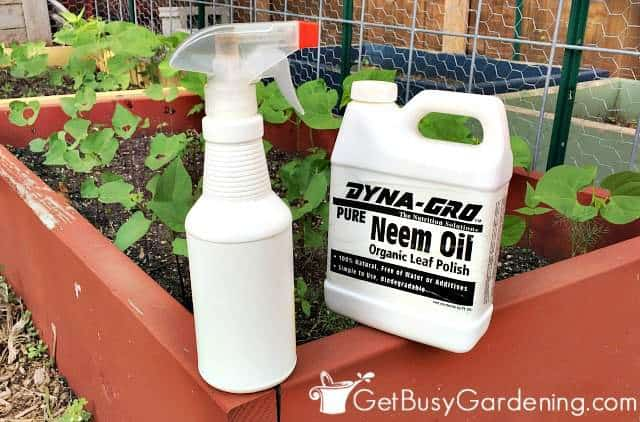 Neem oil makes a great all natural bug spray for plants